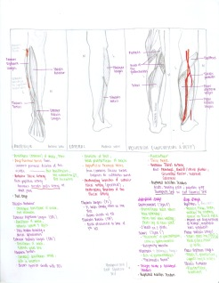 20-muscles-of-the-leg